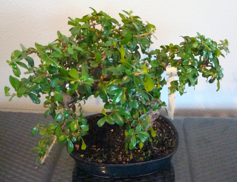 Bonsai_4d5bf81dd5070